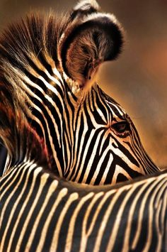 This zebra image won Tom Curtis an international contest called Journey of a Lifetime Photo Contest, by the travel company Abercrombie &. Vida Animal, Mundo Animal, Beautiful Creatures, Animals Beautiful, Cute Animals, African Animals, African Safari, Zebras, Wildlife Photography