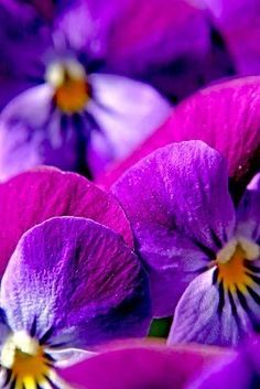 ✿  Spring Pansies