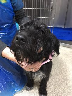 FOUND, female Patterdale cross, no collar, no chip, found in the Vane Road School area of Newton Aycliffe, County Durham. Distinctive lump on left side of face.  Will stay at WVG Newton Aycliffe until Dog Warden is able to collect later today. Please phone (01325) 321871 TODAY with any info.