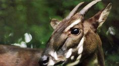 The saola is currently considered to be critically endangered.[1] Its restrictive habitat requirements and aversion to human proximity are likely to endanger it through habitat loss and habitat fragmentation. Saola suffer losses through hunting for local trophy hunting and the illegal trade in furs,...