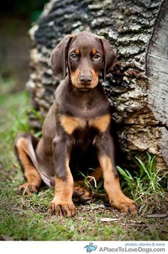 doberman puppy from http://APlaceToLoveDogs.com dog dogs puppy puppies cute doggy doggies adorable funny fun silly photography ___ Dogs Lover?? Visit our website now! :-)