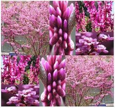 Chinese Redbud Tree Seeds  Cercis chinensis  by ALLooABOUTooSEEDS