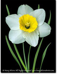 White Daffodils - Art Naturally