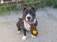 12/24 STILL WAITING!!!! Manhattan Center **DOH HOLD 12/15/15** My name is BRODUS. My Animal ID # is A1053467. I am a male gray and white pit bull mix. The shelter thinks I am about 3 YEARS old. I came in the shelter as a FOSTER on 11/04/2015 from NY 10028, owner surrender reason stated was FOSTER END.