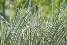 Alpine Meadow, Ornamental Grasses, Mother Earth, Herbs, Plants, Beautiful, Herb, Plant, Planting