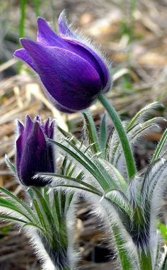 2 Packs de BLUEBELL SEEDS-Native English Ciel fleurs sauvages graines