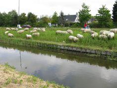 schapen op de dijk.