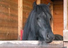 Murthwaite Nat's Lad  - Fell pony