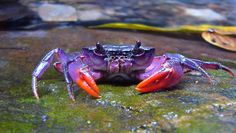 Four new species of crab that sport some wild colors have been discovered near the Philippine island of Palawan. Shown here, one of the newly discovered crab species, Insulamon palawanense, which is bright purple in color.
