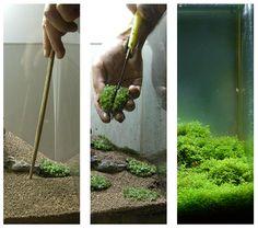 Kokedama používá v aquascaping, s míčem Hemianthus callitrichoides & ldquo; Kuba & rdquo;
