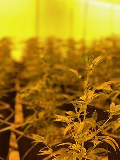 """Wer wissen möchte, wie unsere Blüten angebaut werden: Pt. 1 // Hier sind unsere Stecklinge 3 Wochen alt. Ein Steckling ist in unserem Fall ein Klon von einer aus einem Samen gezogenen Pflanze, der einfach abgeschnitten wird. Dieser """"Sprossteil"""" wird in die Erde gesteckt, wo er neue Wurzeln bildet. Cannabis, Dandelion, Flowers, Plants, Sprouts, Organic Gardening, Roots, Earth, Seeds"""