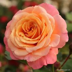 Růže Kordes 'Peach Melba' 2 litry | Truhlíkov.cz Kordes Rosen, Cow Manure, Flora, Peach Melba, Heirloom Roses, Rose Varieties, Hybrid Tea Roses, Growing Roses, Climbing Roses