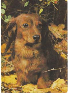 Postcard - red longhair dachshund in autumn leaves