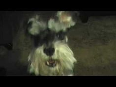 Miniature Schnauzer Talking to me - YouTube