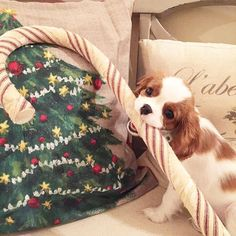 Georgia.the.cavalier - This candy cane is just my size. Tis the season.
