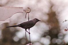 Gray Catbird <3 Tammy Taylor-Kosiba's Photography 2013