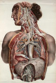 Autonomic nerves of the face, neck, thorax and abdomen by Nicolas Henri Jacob from 'Traité complet de l'anatomie de l'homme' by Marc Jean Bourgery, to show branches of the trigeminal nerve (cranial nerve V), glossopharyngeal nerve (cranial Anatomy Illustration, Science Illustration, Medical Illustration, Medical Drawings, Medical Art, Medical Memes, Andreas Vesalius, Illustrations Médicales, Sibylla Merian