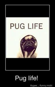 Pug Life....