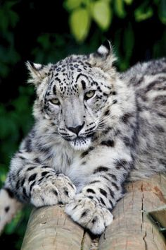 Snow Leopard stretched out on a log.
