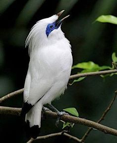 """The Bali Myna (or Mynah), also known as Rothschild's Mynah, Bali Starling, locally known as Jalak Bali, (Scientific name: Leucopsar rothschildi) is a medium-sized, stocky Mynah, almost wholly white with a long, drooping crest, & black tips on the wings & tail. Wikipedia."" & ""Bali Mynas eat insects, such as ants & termites, caterpillars, dragonflies, & grasshoppers, plus fruit, including figs, papayas, & nectar. sandiegozoo.org."""