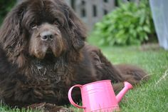 Sherman and the pink watering can  (now this  looks just like my Bentley!)