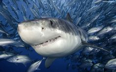 animal-pictures-sharks-wallpapers-hd-photos-shark-wallpaper-3-14414.jpg (1600×1000)