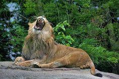 Dakota, lion at Potter Park Zoo in lansing, michigan