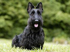 scottish terier | Nice Scottish Terrier dog photo and wallpaper. Beautiful Nice Scottish ...