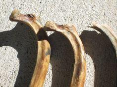 Close-up of Chasmosaurus ribs found San Francisco Bay Marin County