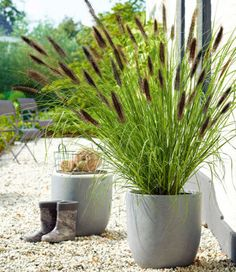 85 Hardy evergreen plants - list and overview - Gartendialog.de - 85 Hardy evergreen plants – list and overview - Miscanthus Sinensis Gracillimus, Hardy Perennials, Plant Needs, Do It Yourself Projects, Plantar, Ornamental Grasses, Plantation, Winter Garden, Amazing Gardens