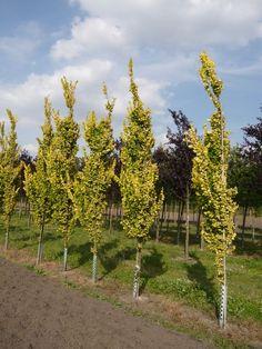 Ulmus hollandica 'Wredei' / Gold-Ulme