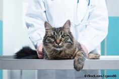 Cat Taurine Deficiency