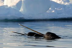 Photographic Print: Narwhal (Monodon Monoceros) Showing Tusks Above Water Surface. Baffin Island, Nunavut, Canada by Eric Baccega : Narwhal Animal, Narwhal Tusk, Orcas, Unicorn Day, Festival Photo, Photo Animaliere, Nature Pictures, Landscape Pictures, Polar Bear