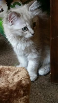 Is'nt she lovely.....Aevi, Blue mitted tabby(lynx) #ragdoll #kitten 13 weeks old