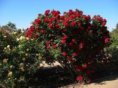 Heirloom Rosegarden, California.