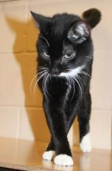 Iron Man is an adoptable Domestic Short Hair-Black And White Cat in Appleton, WI. DSH—Black and White 7 months old Neutered Male Adoption fee: $50 Fee includes rabies & distemper vaccinations, Feline ...