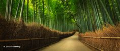 """Bamboo Grove"" by Jarrod Castaing"