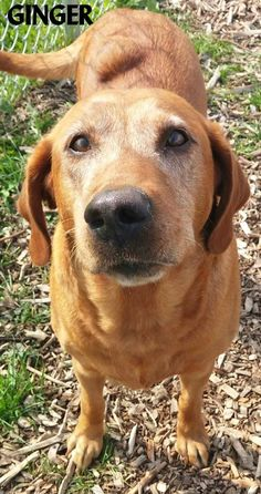 ADOPTED! Tag# 12235 Name is Ginger  Labrador Mix Female-unsure of spay Approx. 7 years old Sweet girl who is gentle, quiet & laid back! Does appear to have a tumor on her back....  Located at 2396 W Genesee Street, Lapeer, Mi. For more information please call 810-667-0236. Adoption hrs M-F 9:30-12:00 & 12:30-4:15, Weds 9:30-12:00 & Sat 9:00-2:00  https://www.facebook.com/267166810020812/photos/a.903811743022979.1073742199.267166810020812/904491472955006/?type=3&theat...