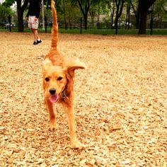 Zulu, our 5 month old cavapoo member playing at The Dog Park!