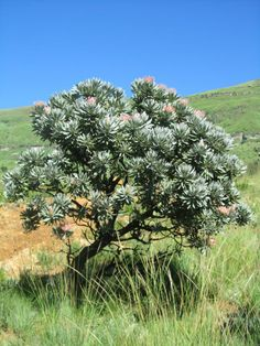 Protea tree Garden In The Woods, Plants, Garden, Tree, Old Trees, Fynbos, Trees To Plant, Australian Garden, Protea Plant