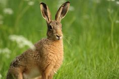 Image result for hare sitting Cow Parsley, March Hare, Mammals, Kangaroo, Rabbit, Image, Baby Bjorn, Bunny, Rabbits