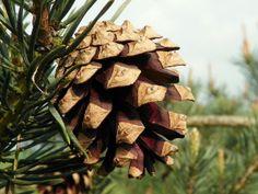 Scots Pine (Pinus sylvestris) | Flickr - Photo Sharing!