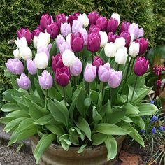 Lila und weiße Tulpen Purple and white tulips, Tulips Garden, Garden Planters, Planting Flowers, Outdoor Flowers, Spring Garden, Front Yard Landscaping, Garden Projects, Spring Flowers, Garden Inspiration