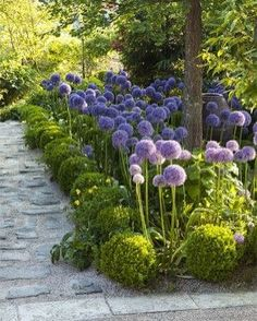 Allium hollandicum 'Purple Sensation' #giantallium #wondergdn#flowergdn#landscapedesign #gardendesign #gardenideas#topiary…