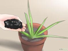 Plant Aloe Vera Step 3 Version 2.jpg