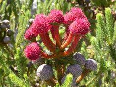 Foro de InfoJardín - Plantas y flores curiosas            brunia stokoei