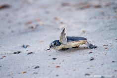 Photograph Baby Green Sea Turtle, Amelia Island, Florida by Dawna Moore on 500px
