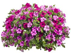 Proven Winners Rainbows and Robins - Supertunia Raspberry Blast & Royal Magenta, Snowstorm Giant Snowflakes Bacopa Sutera Cordata Container Water Gardens, Container Gardening Vegetables, Container Plants, Succulent Containers, Container Flowers, Vegetable Gardening, Part Shade Plants, Shade Tolerant Plants, Gemüseanbau In Kübeln