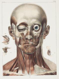 vintage anatomy illustration, from Traité Complet de L'Anatomie de L'Homme, by Jean-Baptiste Bourgery and Nicolas Henri Jacob, 1867–1871