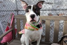 NOW SUPER URGENT - **SICK PUP** - OLYMPIA TO BE DESTROYED‼️ - 12/30/16 - #1100164 - Manhattan - FEMALE WHITE AND BLACK AM PIT BULL TER MIX, 1 Yr - STRAY ON 12/20/16 - NO SIGNS OF AGGRESSION - FOUND OUTSIDE TIED UP BY A GROCERY STORE - TOLERATED ALL HANDLING- 12/24 CIRDC, DOXY, MOVE TO ISO